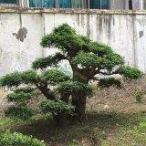 对节白蜡景观树