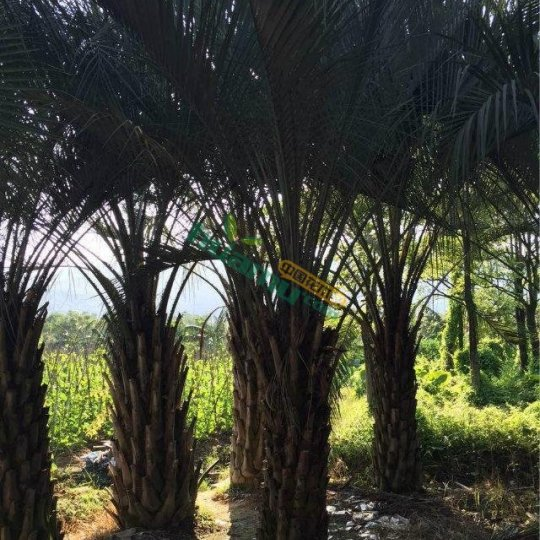 桿高2米布迪椰子