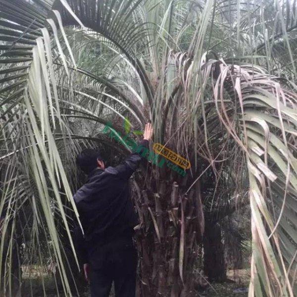 布迪椰子150-600高