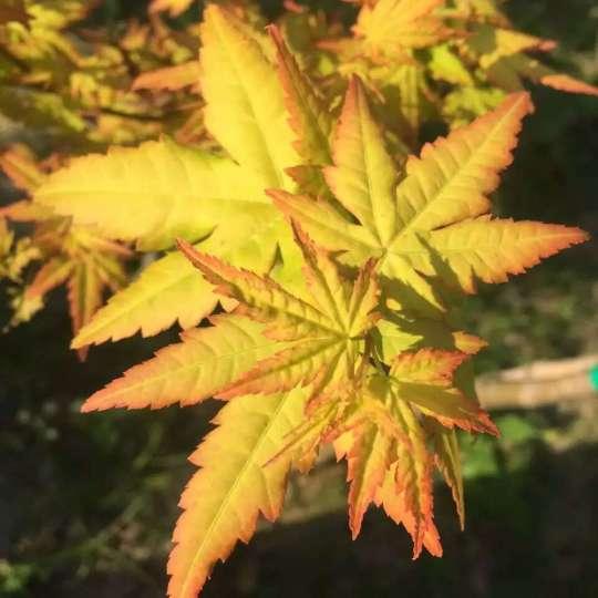 多種規格日本紅楓