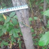 糖槭树树苗(飞刀树)