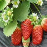 红颜,章姬,甜查理草莓苗