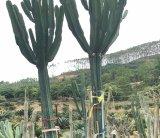 大型斑锦柱沙漠植物景观园林展览