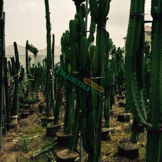 大戟阁布置多肉植物展览温室幼株也可盆栽装饰客厅