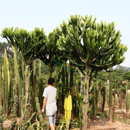 庭院仙人柱主营沙漠植物