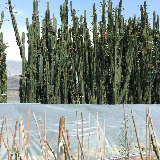 量天尺多浆植物室外仙人掌造景