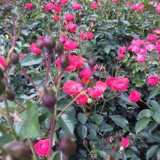 金邊玫瑰苗、墨紅玫瑰苗