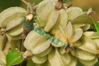 翅果油樹種子 翅果油樹苗育苗技術