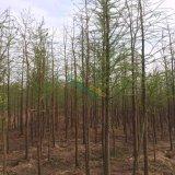 供应优质精品池杉2-12公分.