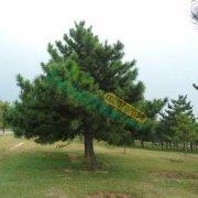 2米3米4米5米6米油松低价出售