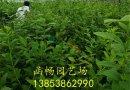 优质蓝莓苗批发 营养杯蓝莓苗 蓝莓大苗 蓝莓小苗