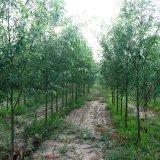 新品种柳树(2号)