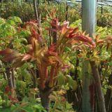 出售泰山红油香椿苗