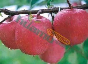 烟富8【神富一号】苹果苗