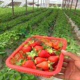 大量批发优质 红颜草莓苗 保证品种 成活率98%