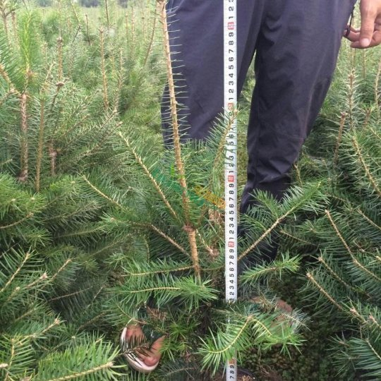 冷杉40-70厘米高营养钵及裸根苗木