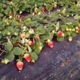 草莓苗批发 草莓苗基地 红颜草莓苗 章姬草莓苗...品种齐全