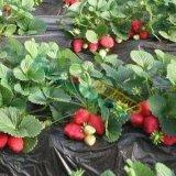 甜查理法兰地脱毒草莓苗 山东牛奶草莓苗批发 红颜章姬草莓苗出售