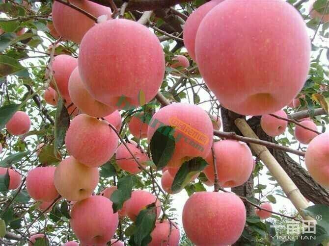 水晶富士苹果苗