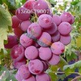 巨峰大棚葡萄种植技术 甬优高产葡萄品种 比昂扣葡萄苗批发价格