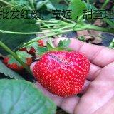 草莓苗 章姬草莓苗