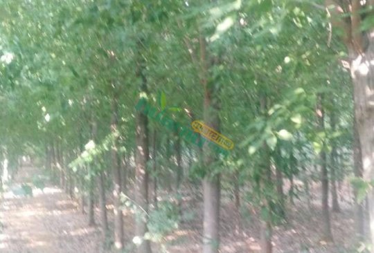 基地直供2-30公分三角枫树苗