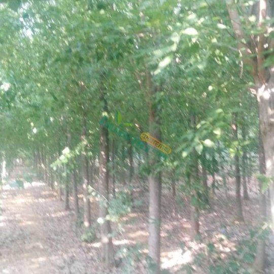 基地直供2-30公分三角楓樹苗