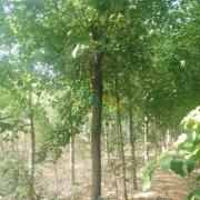 基地直供2-30公分五角枫树苗