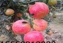 石榴苗 软籽石榴苗
