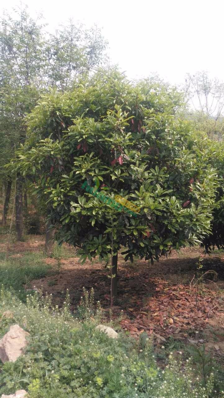 6-35公分红叶石楠,中华楠树苗基地直供