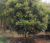 6-35公分红叶石楠