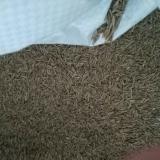 普通黑麦草