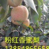 粉红香蜜梨树苗 梨树苗