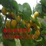 杏树苗  珍珠油杏苗
