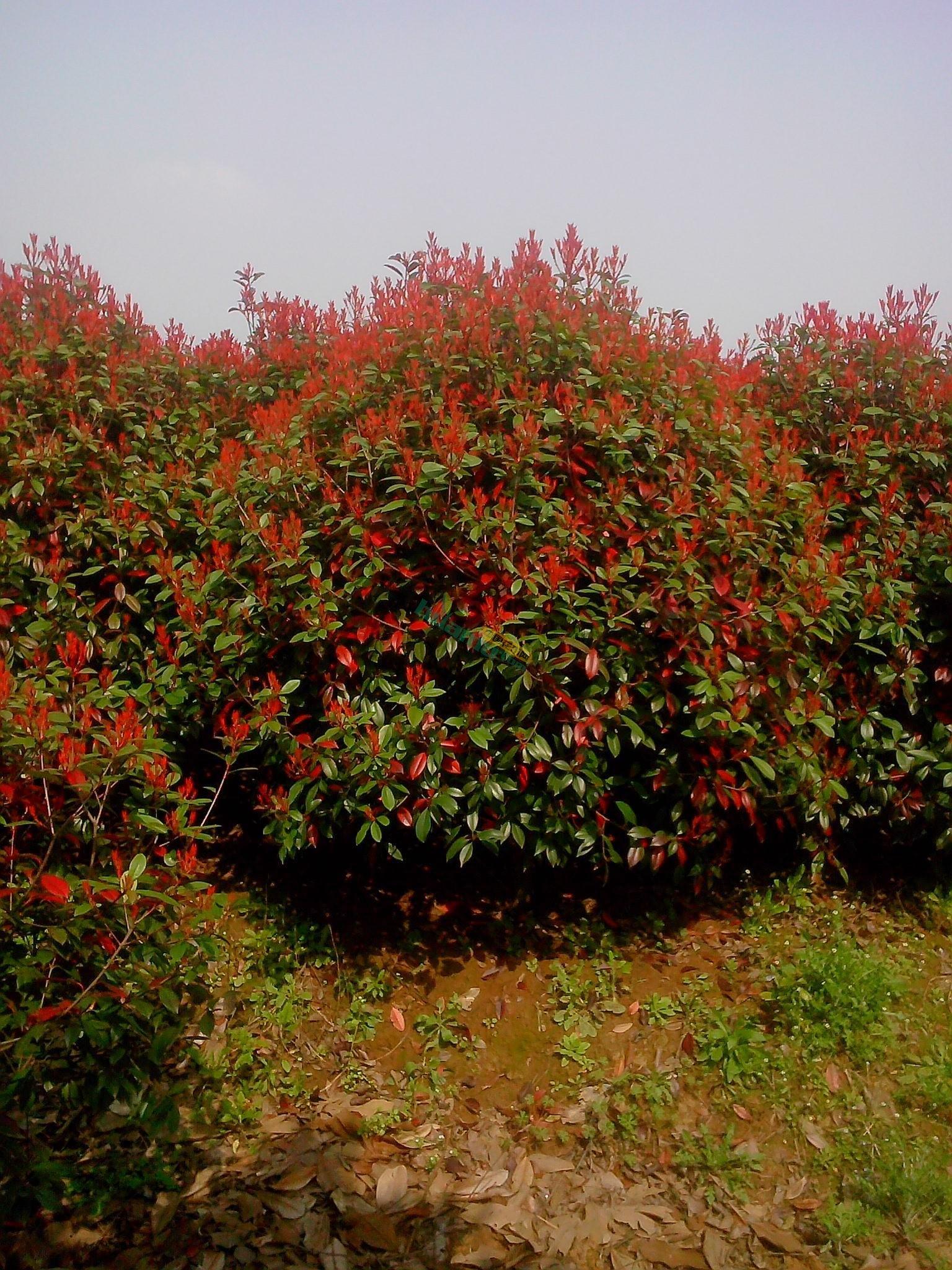南京红叶石楠球价格,南京红叶石楠球基地,1-3米红叶石楠球