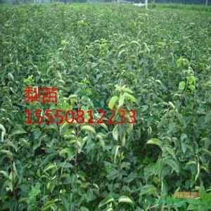 梨树苗(1-5)公分梨树