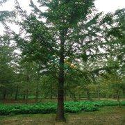 胸径25公分实生银杏树