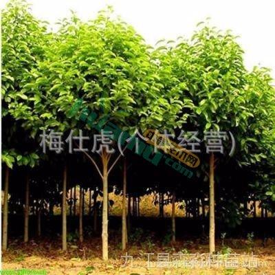 九江深山含笑苗木
