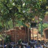 红心香泡红心蜜柚 另有大量果树苗出售
