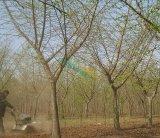 20公分银杏嫁接树