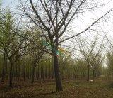 米胸径18cm银杏嫁接树
