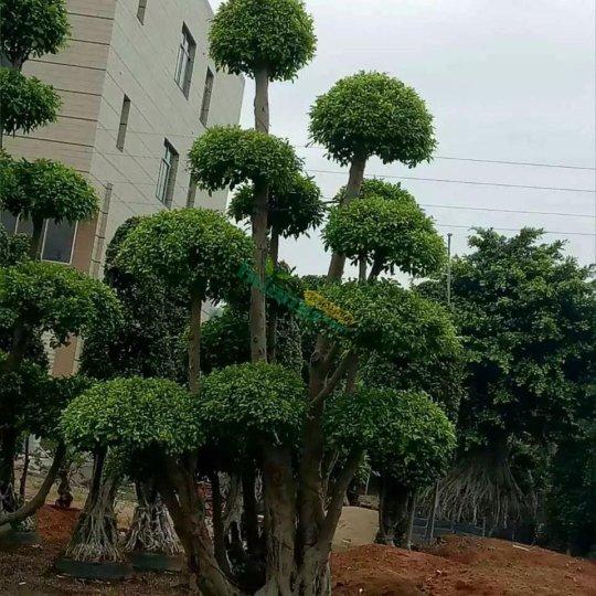 榕樹樁景地徑12-180公分,價格1000