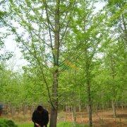 23公分实生银杏树