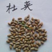 杜英种子,杜英种子价格,杜英商家