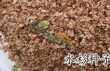 水杉种子,杉木种子, 杉木种子价格