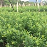 红豆杉实地小苗