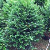 50公分红豆杉盆栽