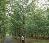 22公分银杏树