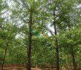 18公分银杏树