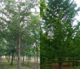 米径19公分银杏树